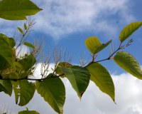 147: Ignore Japanese Knotweed at your peril